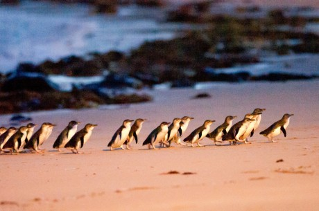 Image result for penguin parade phillip island