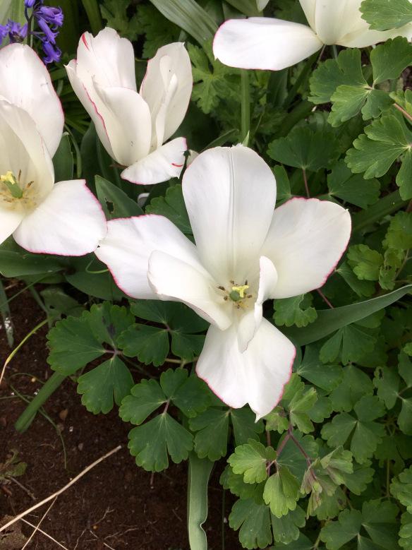 Tulips Diamond Jubilee